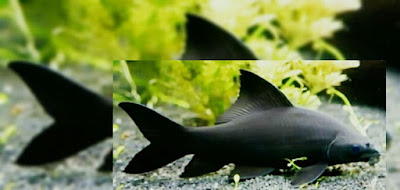 ikan hias black shark