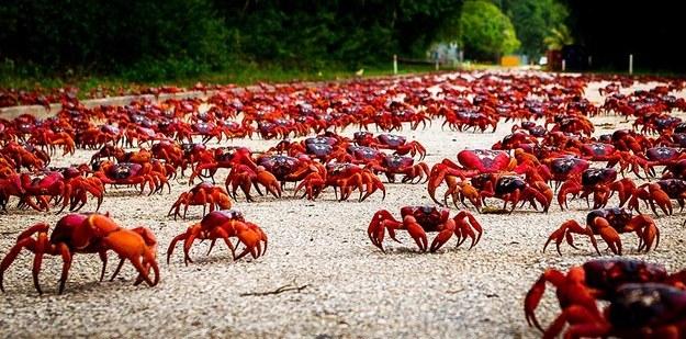 A GRANDE MIGRAÇÃO DE CARANGUEJOS Invasão de Caranguejos Transforma Ilha Habitada Em Um Mar Vermelho