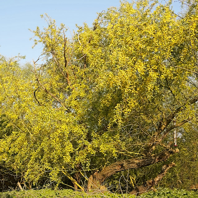 White willow tree covered in catkins gleaming orange in the sun