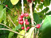 赤く熟したコーヒーの実
