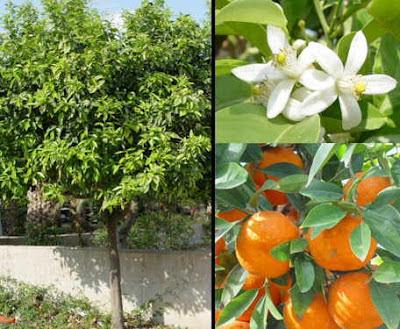 arboles citricos planta de naranja