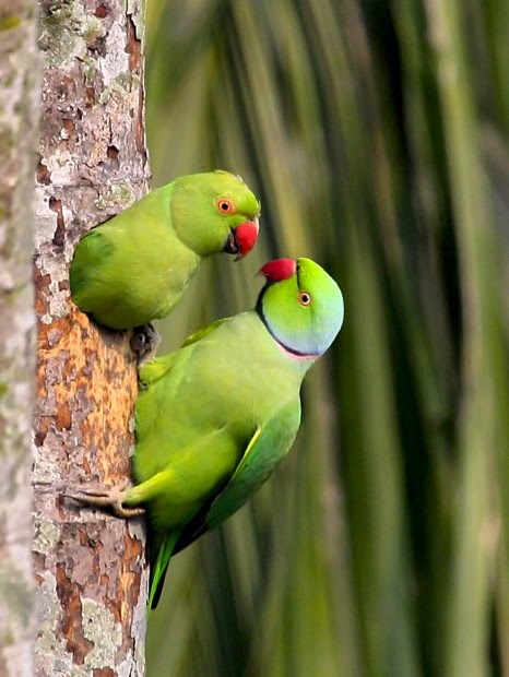 Rose-ringed Parakeet Facts And Behavior Guide ~ Bird Information