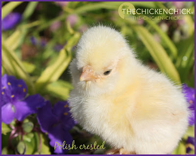 Polish crested chick via  via www.The-Chicken-Chick.com