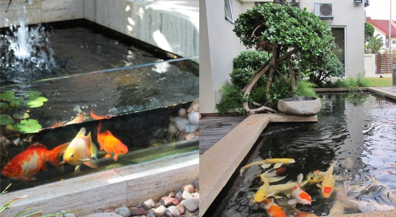 desain kolam ikan hias cara budidaya ikan