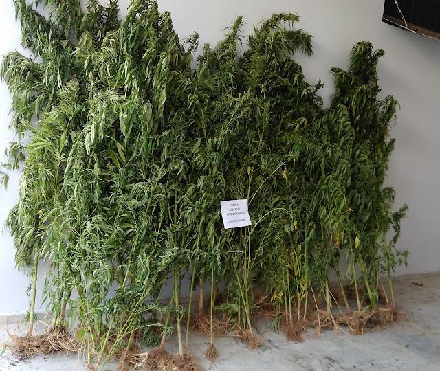 Συνελήφθη ακόμη ενας 35χρονος για την καλλιέργεια της φυτείας κάνναβης που εντοπίσθηκε στην Αργολίδα