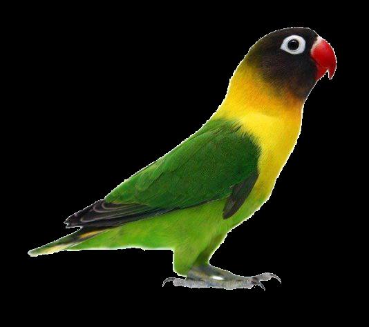 Gambar Png Burung Love Bird