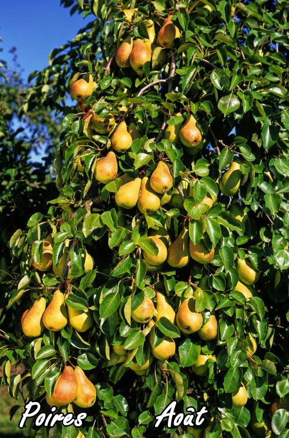 la taille des arbres fruitiers biologique le poirier