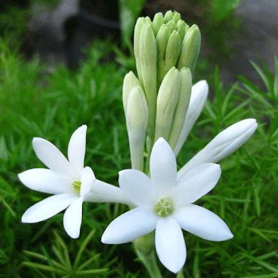 hoa huệ đẹp nhất