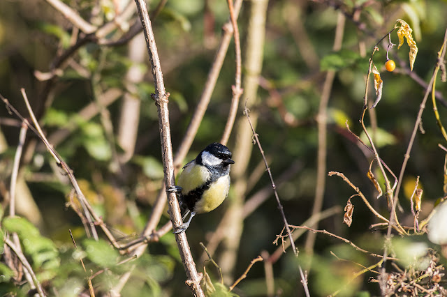 Great tit (same as above) front on.