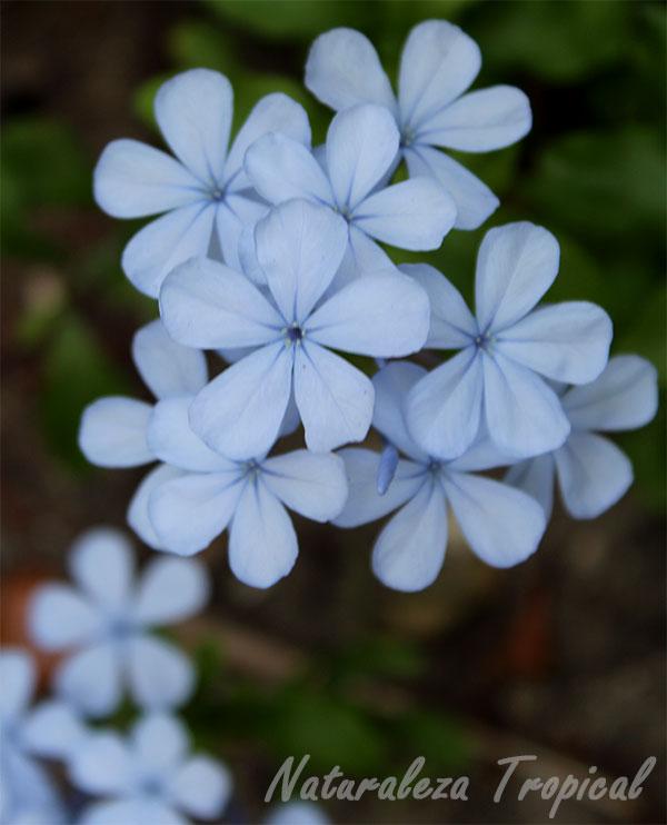 Flores características de la planta Celestina, Plumbago auriculata