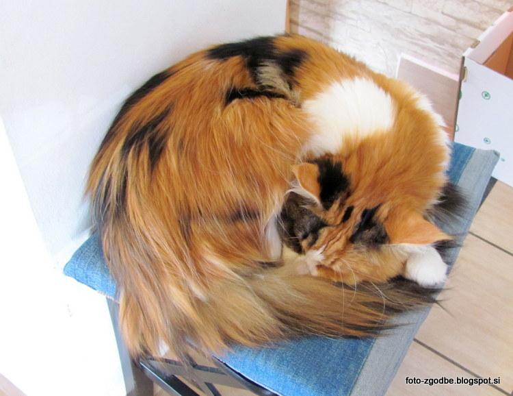 Maine Coon, maček