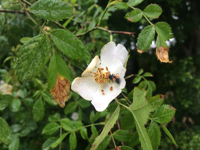 A ladybird larva (black and orange) on a wild rose flower in the rain
