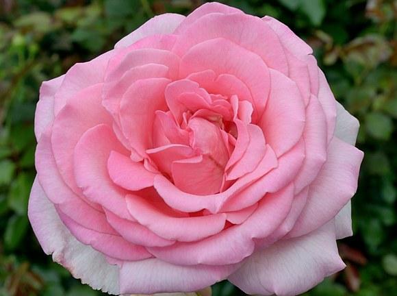 Sweet Parole сорт розы Кордес фото купить Минск