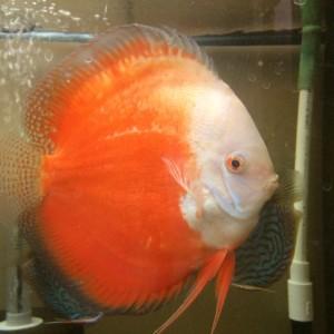 Jenis dan Harga Ikan Discus Red And White