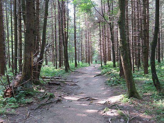 Las na płaskowyżu Geravy.