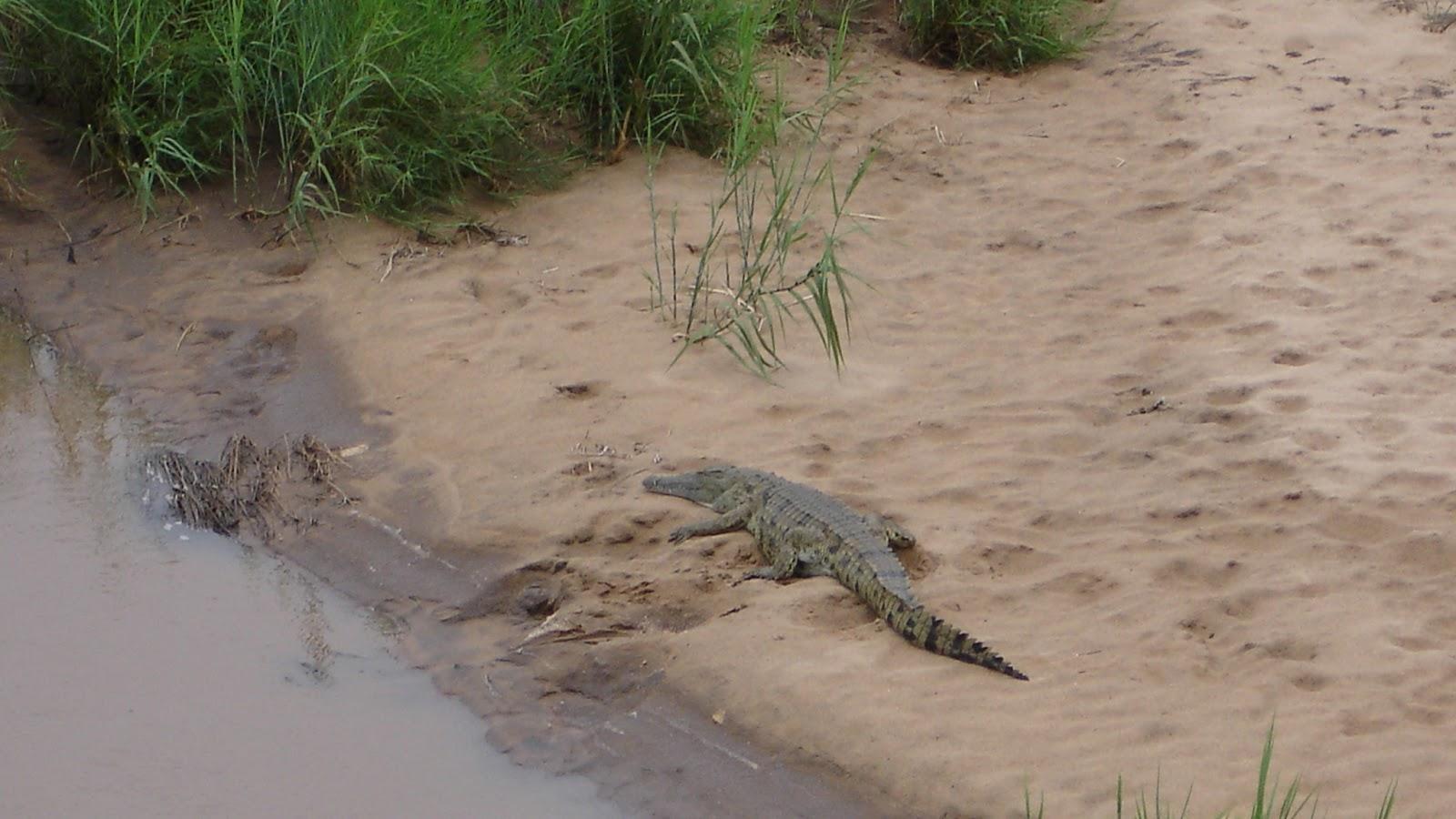 crocodile kruger park