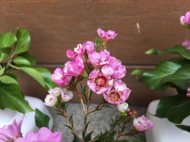 pinke Wachsblumen