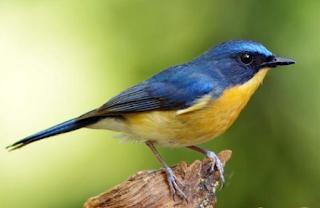 Download Suara Burung Tledekan Untuk Masteran
