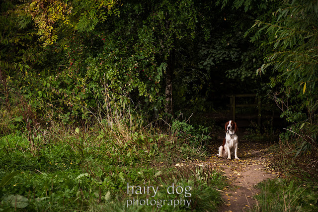 English Setter dog photography north east