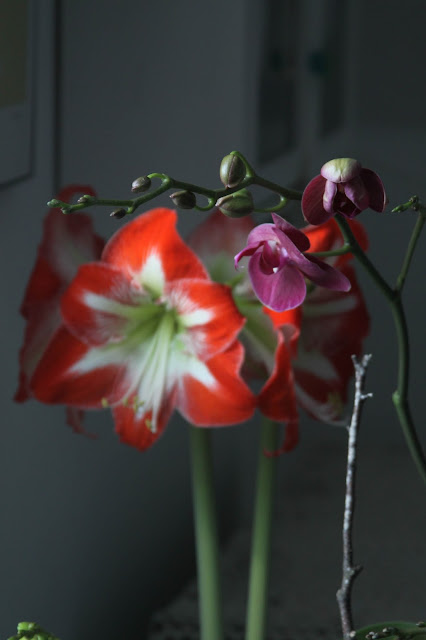 orchids, moth orchid, phalaenopsis, amaryllis, indoor garden, houseplants, artist studio, Anne Butera, My Giant Strawberry