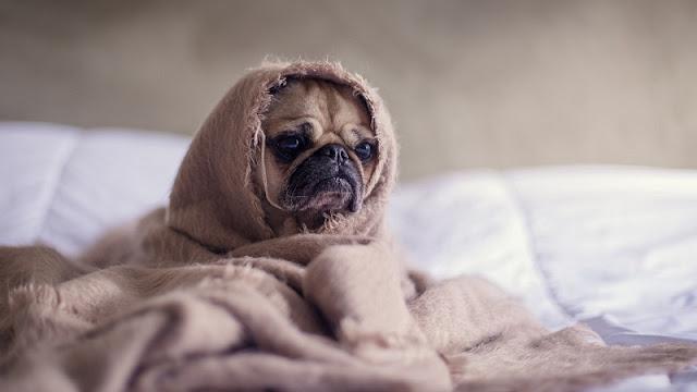 anak anjing terbalut selimut berwarna cokelat