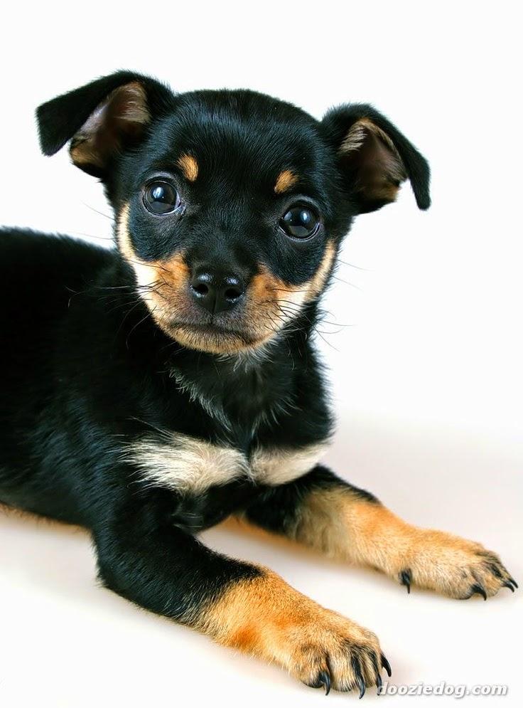 Cute baby best Miniature Pinscher Dogs