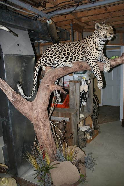 Leopard taxidermy
