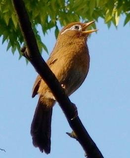 Suara burung hwamei gacor mp3