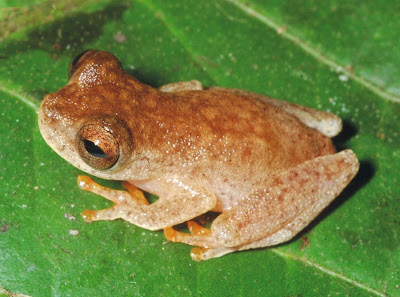 Bat Frog | Source: http://news.nationalgeographic.com/news/2014/11/141108-frogs-new-species-amazon-bats-animals-science-ozzy-osbourne/