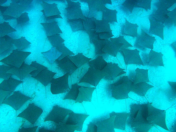 Life of bat ray life of sea for Sea ray fish