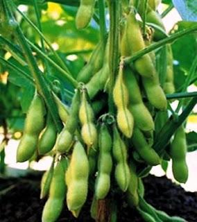 Manfaat serta Jenis Bahan Pangan Kacang - Kacangan