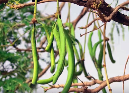 The African locust bean tree, honey bean tree or the Dawadawa tree is a multipurpose tree used widely in Africa for medicine, food, trade and pest control.