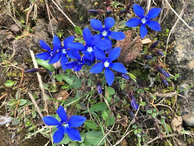blau blühende Bergblumen