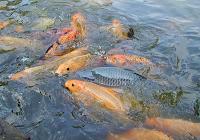 Budidaya Ikan Mas (Kolam Terpal)