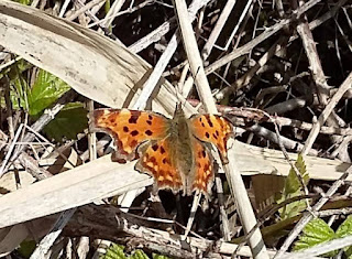 comma butterfly sunning on the nettles