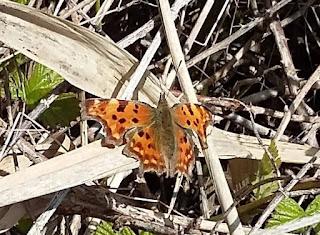 comma butterfly sunning on the nettles