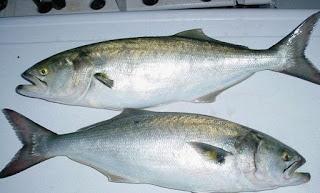 طريقة صيد سمك المياس