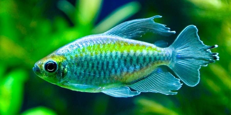 3 Spesies  Ikan Tetra Paling Unik Dan Mempesona