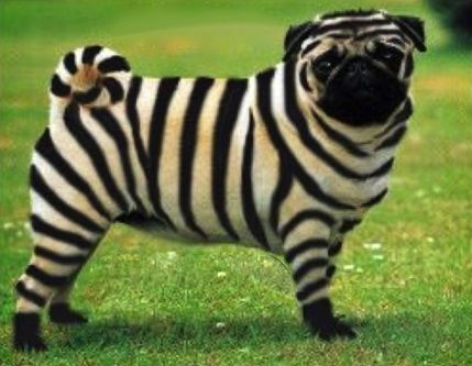 pedigree dogs exposed the blog world s first striped pug