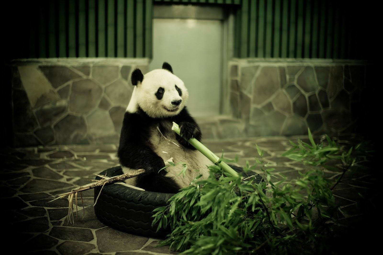 Imagenes Hilandy: Fondo De Pantalla Animales Oso Panda