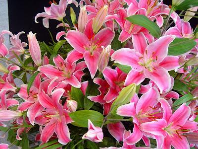 http://tipspetani.blogspot.com/2016/11/peluang-usaha-menanam-bunga-lily.html