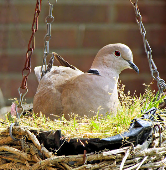 Collared Doves Nesting