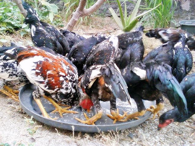 Image result for panduan lengkap ayam kampung