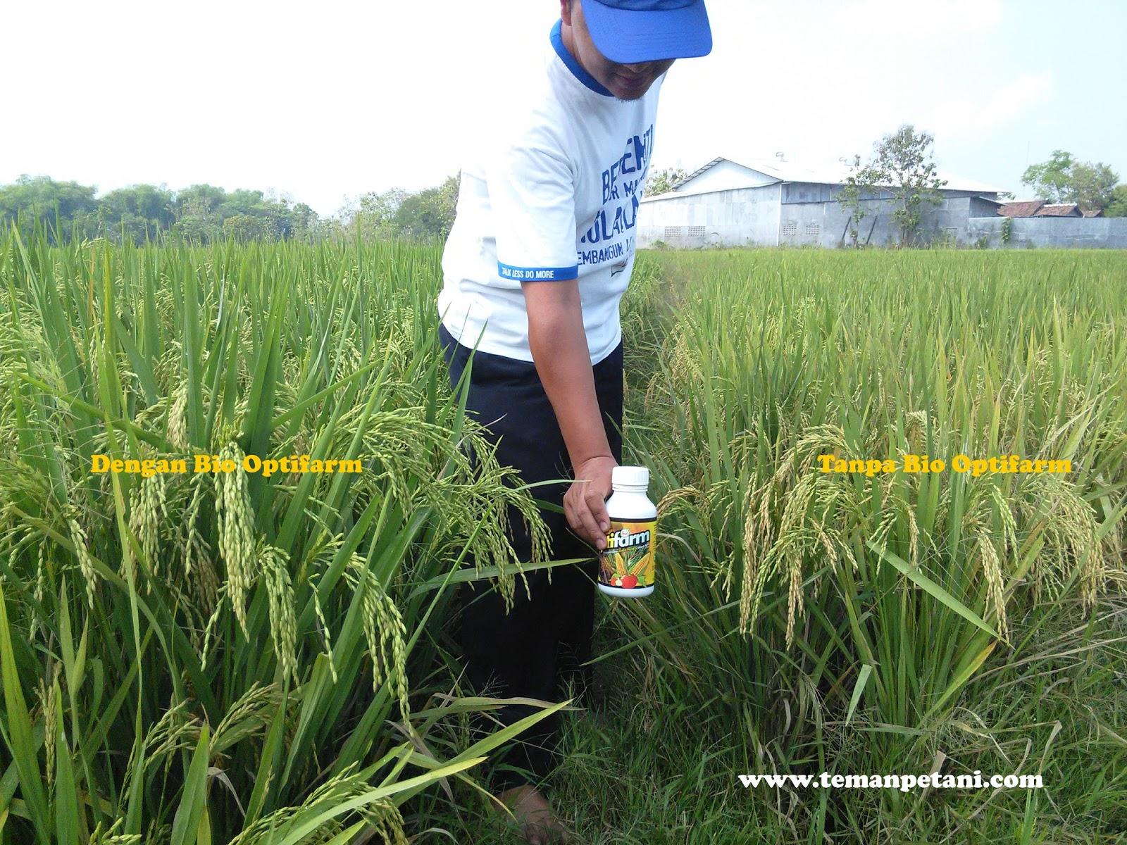 Panen padi dengan Bio Optifarm meningkat, tanaman sembuh dari penyakit kresek