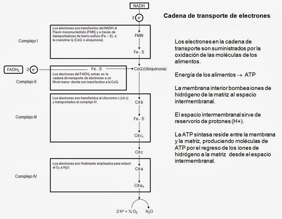 Cadena Respiratoria Y Fosforilacion Oxidativa Apuntes De