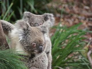 peranakan koala betina