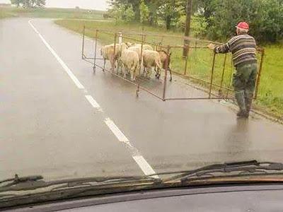 Covoiturer avec des moutons...