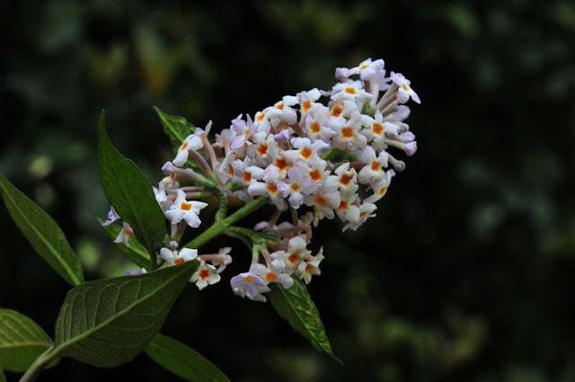 Hoa Mật Mông Hoa - Buddleia officinalis (Buddleia madagascariensis) - Nguyên liệu làm thuốc Chữa bệnh Mắt Tai Răng Họng