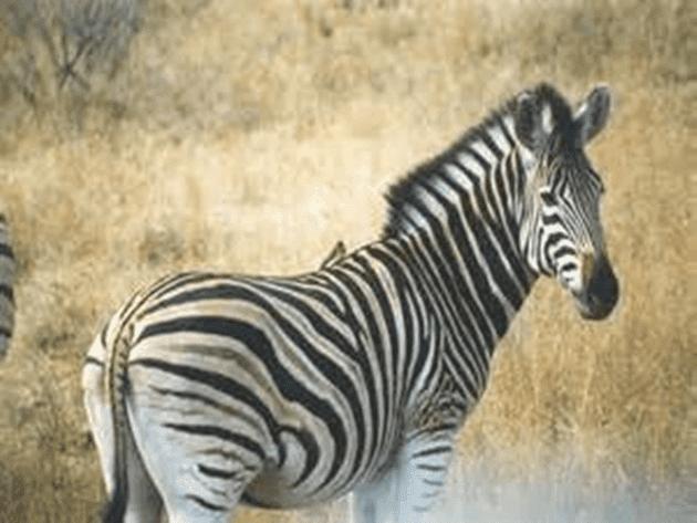 Zebra HD Wallpaper Photo Pics and Images