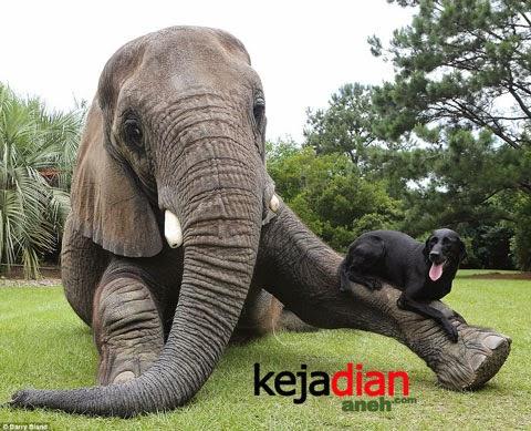 Uniknya Pertemanan Anjing Dan Gajah